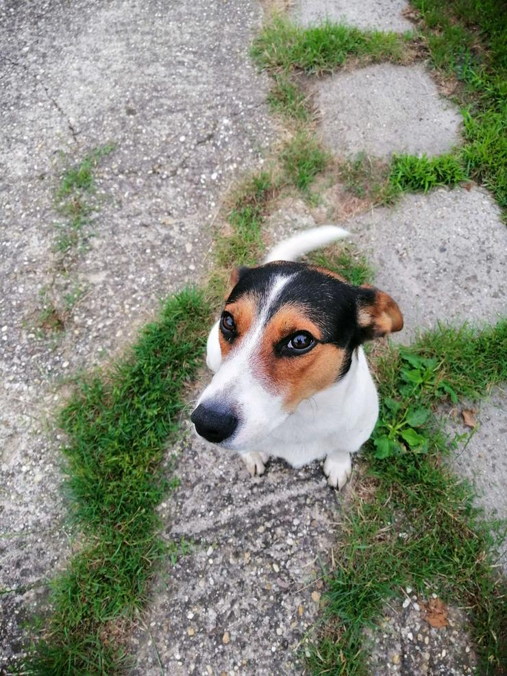 Bild 2: LEO, 1-2 Jahre, Beagle-Mischling, Rüde, kastriert, mittelgroß, 45 cm, Tierschutz,  kinderlieb, familiengeeignet, seniorengeeignet, Anfängergeeignet, behindertengeeignet, hundeverträglich, Tierschutz