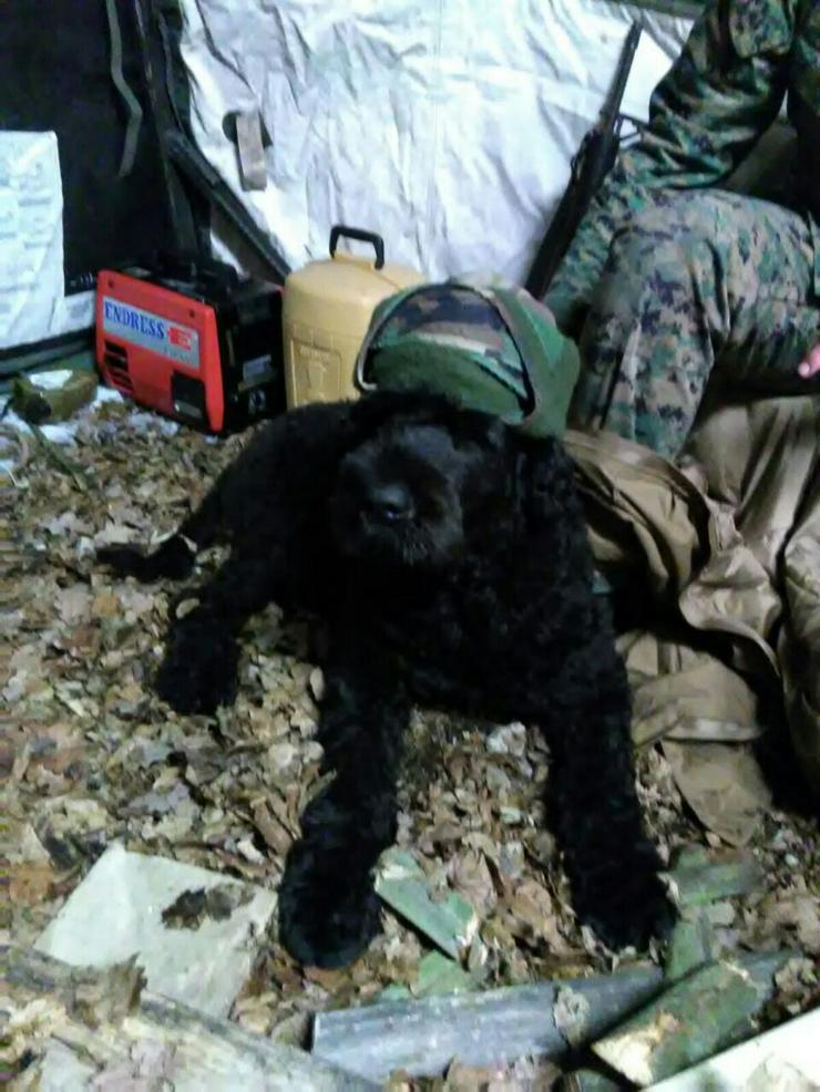 schwarzer russischer Terrier Welpen reinrassig