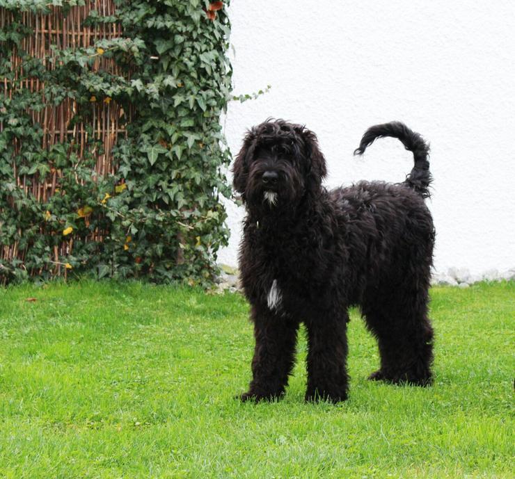 Bild 3: schwarzer russischer Terrier Welpen reinrassig