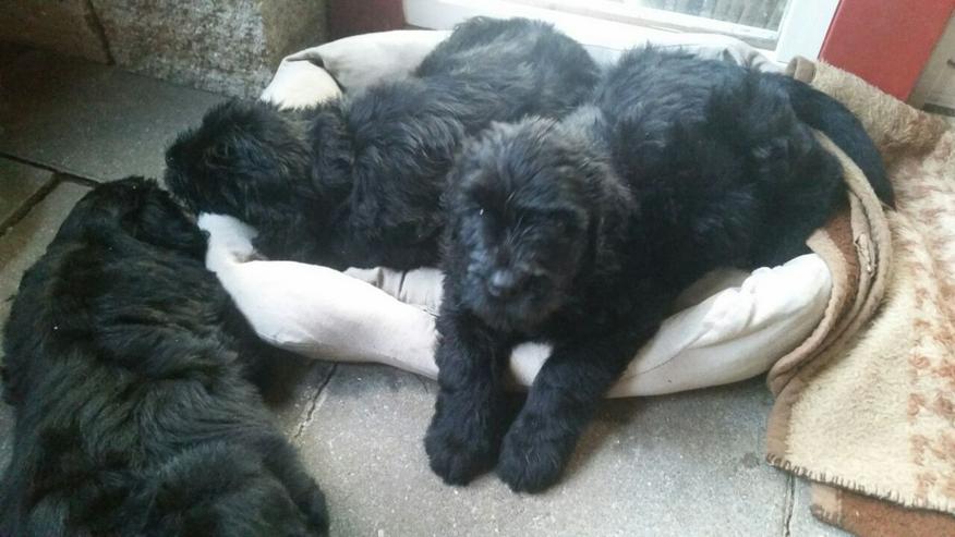 Bild 5: schwarzer russischer Terrier Welpen reinrassig