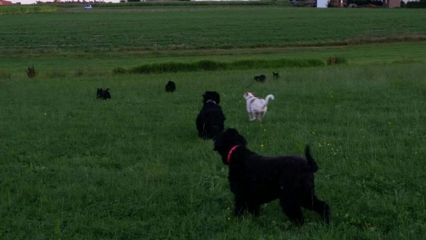 Bild 6: schwarzer russischer Terrier Welpen reinrassig