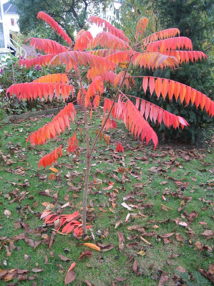 Bild 2: Biete hier ca. 100 Samen von dem Essigbaum