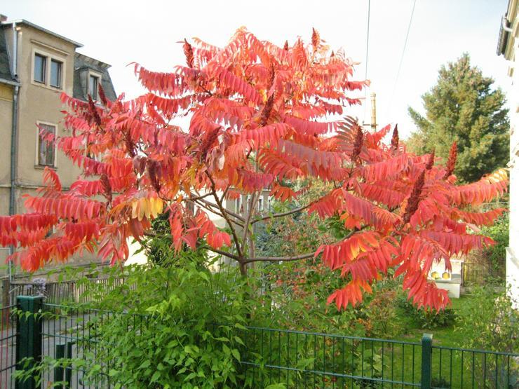 Biete hier ca. 100 Samen von dem Essigbaum  - Pflanzen - Bild 1