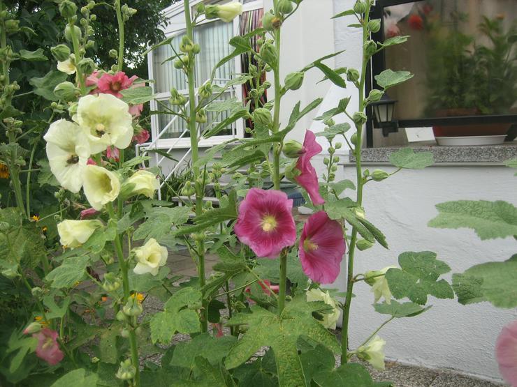Biete ca. 100 Samen für 1,00 Euro oder ca. 500 Blumensamen der Stockrose für 4,00 Euro - Pflanzen - Bild 1