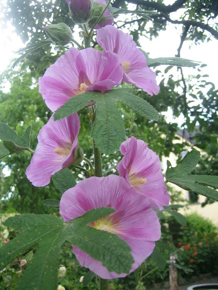Bild 3: Biete ca. 100 Samen für 1,00 Euro oder ca. 500 Blumensamen der Stockrose für 4,00 Euro