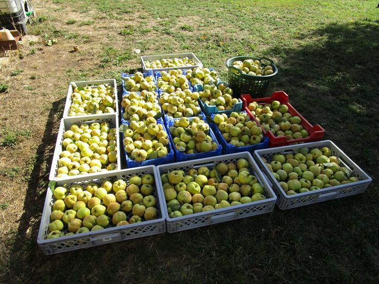 Quitten aus eigener Ernte zu verkaufen