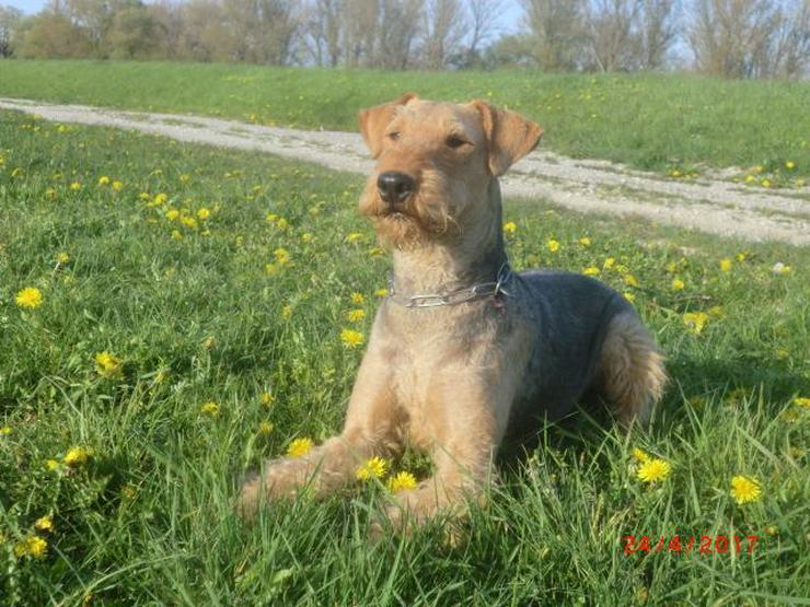 4 Airedale-Terrier - Rüdenwelpen (KfT, mit Pap.) ab November 2019 abzugeben - Rassehunde - Bild 1