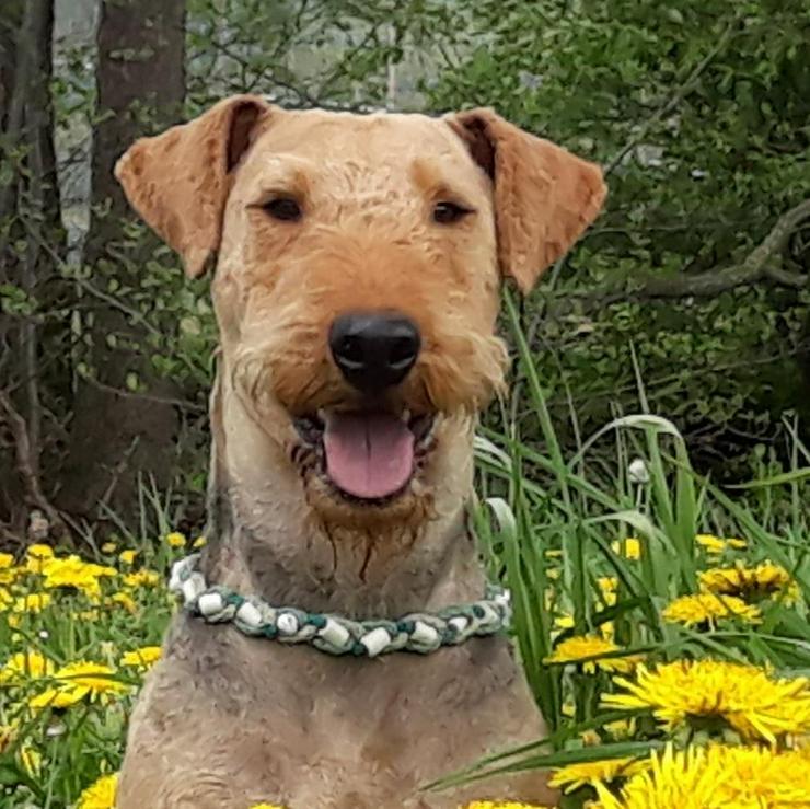 Bild 4: 4 Airedale-Terrier - Rüdenwelpen (KfT, mit Pap.) ab November 2019 abzugeben
