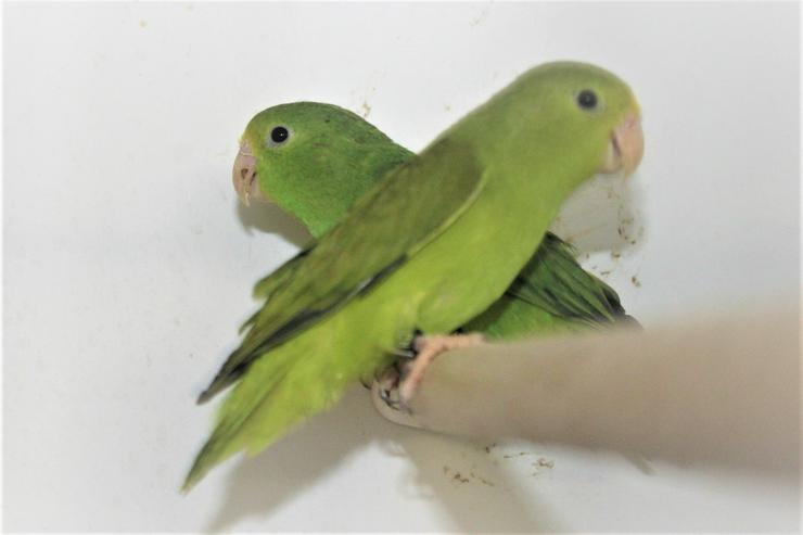 Verkaufe junge Blaugenicksperlingspapageien - Papageien - Bild 1