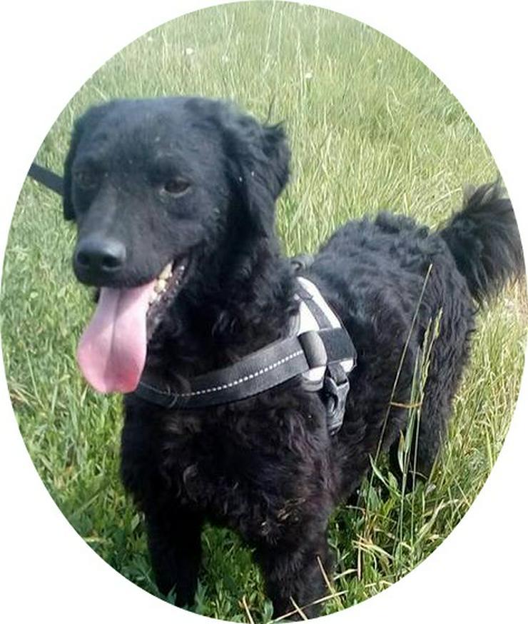 PUDDING - 42 cm - SO SÜSS WIE IHR NAME! (aus dem Tierschutz) - Mischlingshunde - Bild 1