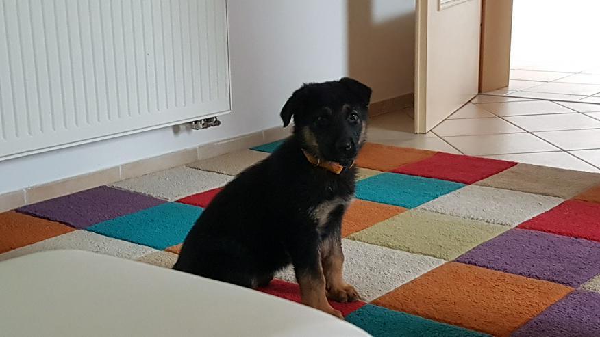 Dt. Schäferhund Welpe, Hündin  - Rassehunde - Bild 1