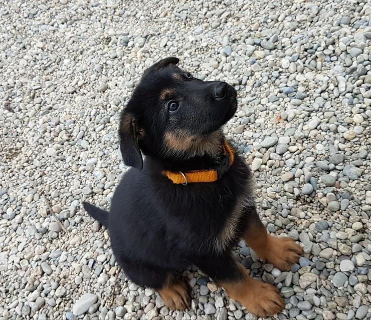 Bild 2: Dt. Schäferhund Welpe, Hündin