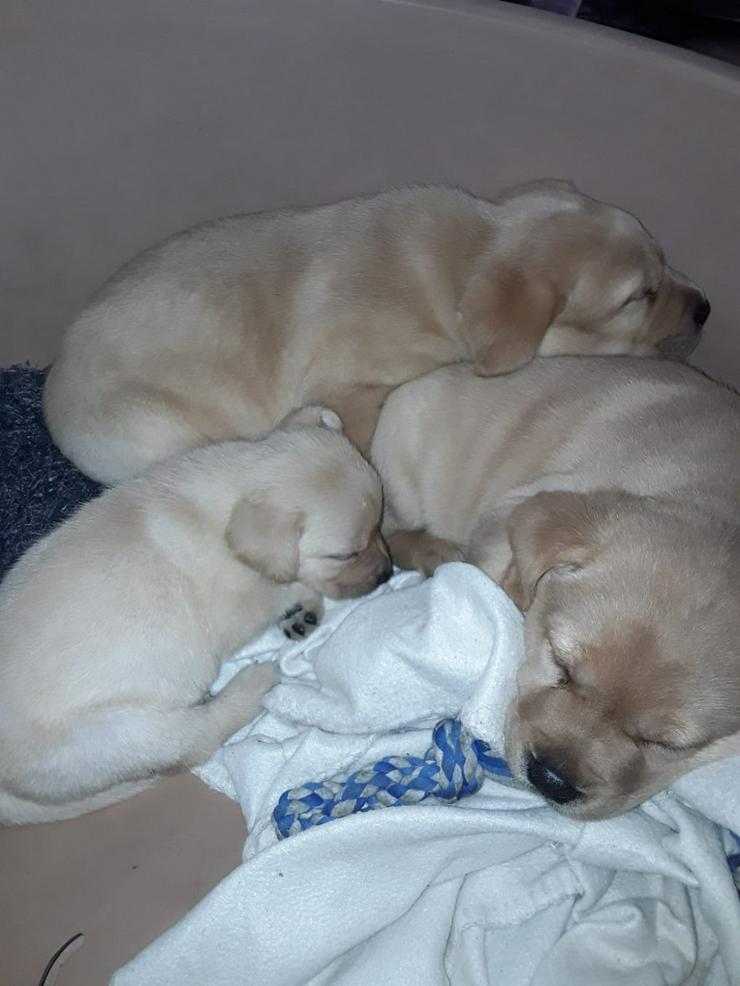 Labrador Welpen - Rassehunde - Bild 1