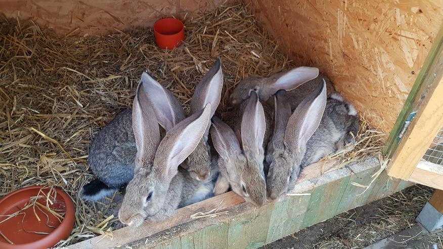 Deutsche Riesen/blaue Wiener  - Kaninchen & Hasen - Bild 4