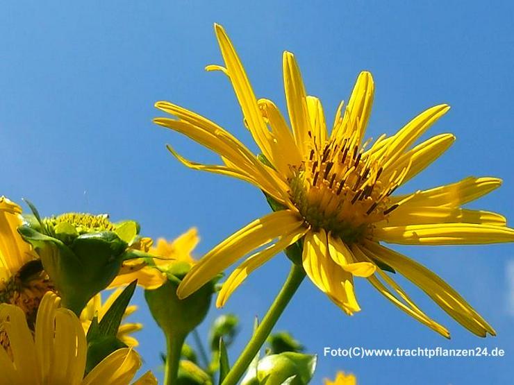 Durchwachsene Silphie, Pflanzen jetzt vorbestellen!