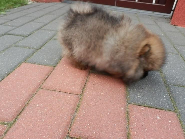Bild 5: 9 Wochen alte Pomeranian  Welpen suchen liebevolle Eltern.