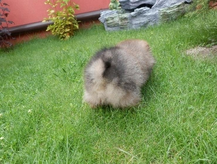 Bild 2: 9 Wochen alte Pomeranian  Welpen suchen liebevolle Eltern.