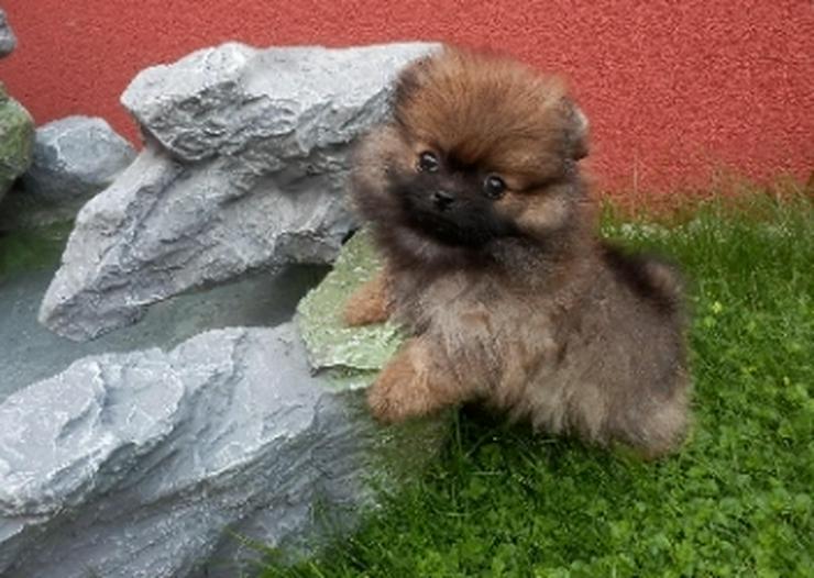 Bild 6: 9 Wochen alte Pomeranian  Welpen suchen liebevolle Eltern.