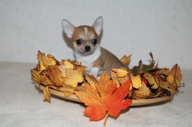 Bild 5: Wunderschöne Chihuahua-Welpen in Kurzhaar
