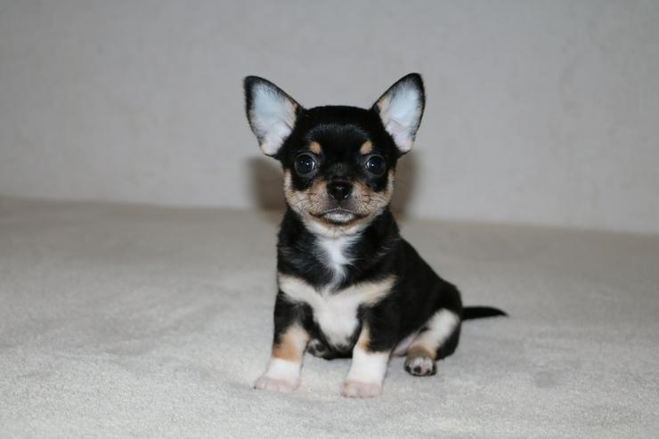 Bild 2: Wunderschöne Chihuahua-Welpen in Kurzhaar