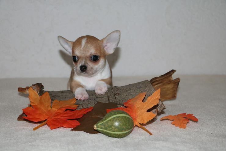 Bild 6: Wunderschöne Chihuahua-Welpen in Kurzhaar
