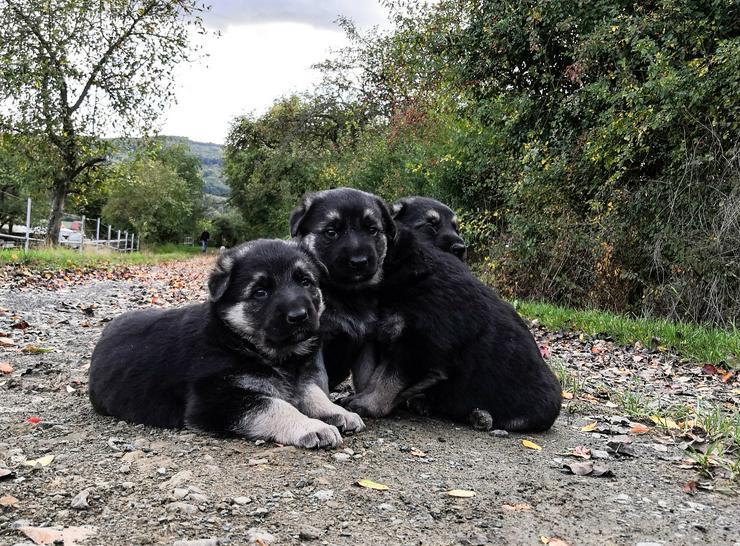 Bild 3: Graue Schäferhund Welpen mit geradem Rücken, HD/ED freie Eltern