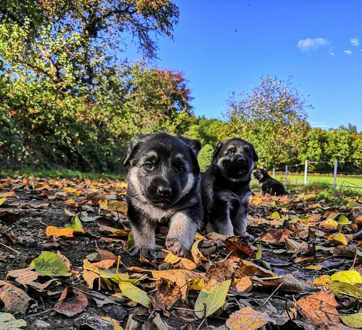 Graue Schäferhund Welpen mit geradem Rücken, HD/ED freie Eltern