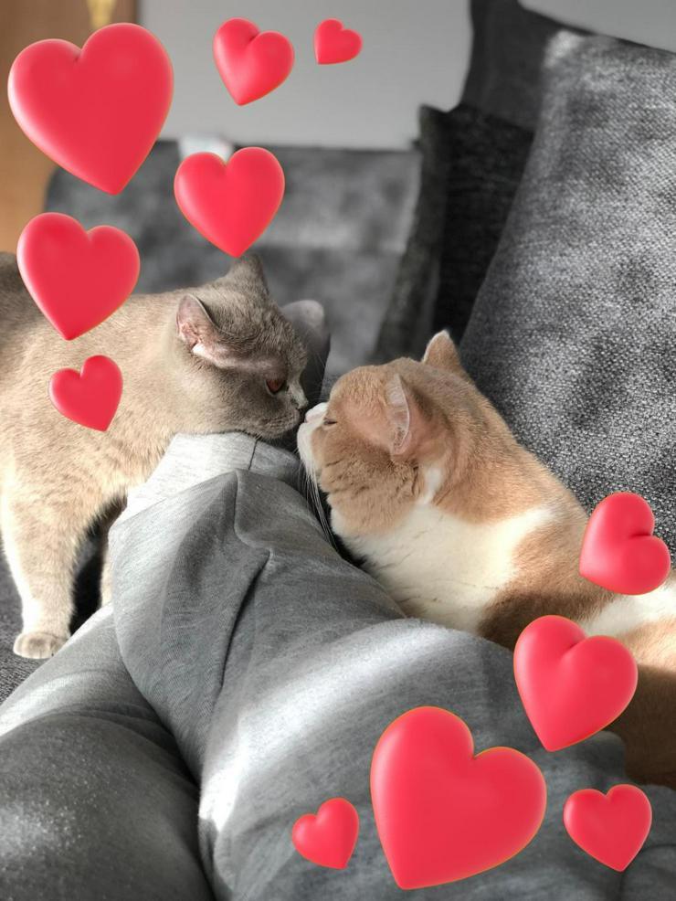 Wurfanzeige * BKH Kitten * zuckersüße Katzenbabys
