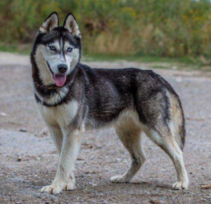 STELLA, 3 Jahre, Husky Hündin, Tierschutz, aktiv