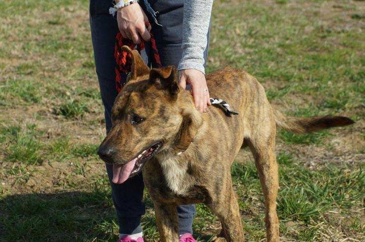 Bild 6: EDISON, 2 Jahre, Holländischer Hirtenhund Mix, Rüde, Tierschutz, hundeverträglich