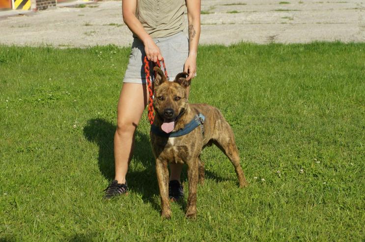 Bild 5: EDISON, 2 Jahre, Holländischer Hirtenhund Mix, Rüde, Tierschutz, hundeverträglich