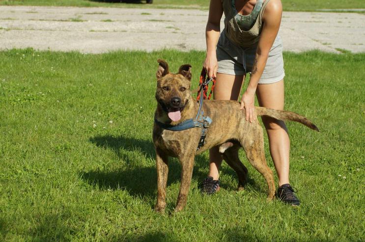 Bild 4: EDISON, 2 Jahre, Holländischer Hirtenhund Mix, Rüde, Tierschutz, hundeverträglich