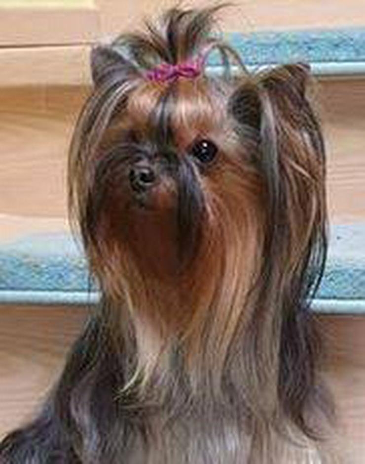 Yorkshire Terrier Hündin - wegen Zuchtverkleinerung