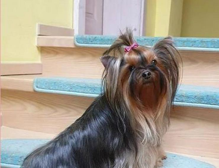 Bild 2: Yorkshire Terrier Hündin - wegen Zuchtverkleinerung