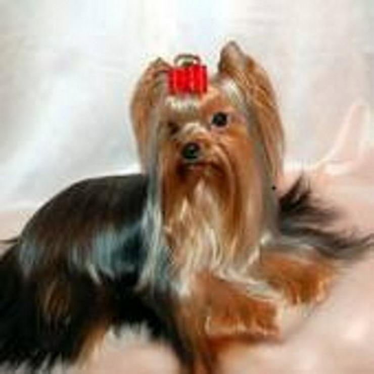 Bild 2: Yorkshire Terrier Rüde - 8 Mon. - wegen Zuchtverkleinerung