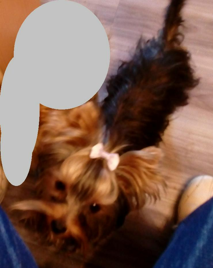 Yorkshire Terrier Rüde - 8 Mon. - wegen Zuchtverkleinerung