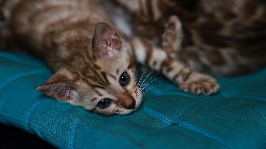 Bild 4: Wunderschöne Champion Bengalkitten Katzen suchen Ihr neues Zuhause