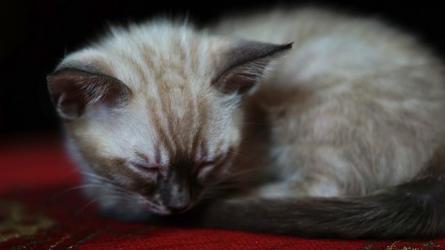 Bild 8: Wunderschöne Champion Bengalkitten Katzen suchen Ihr neues Zuhause