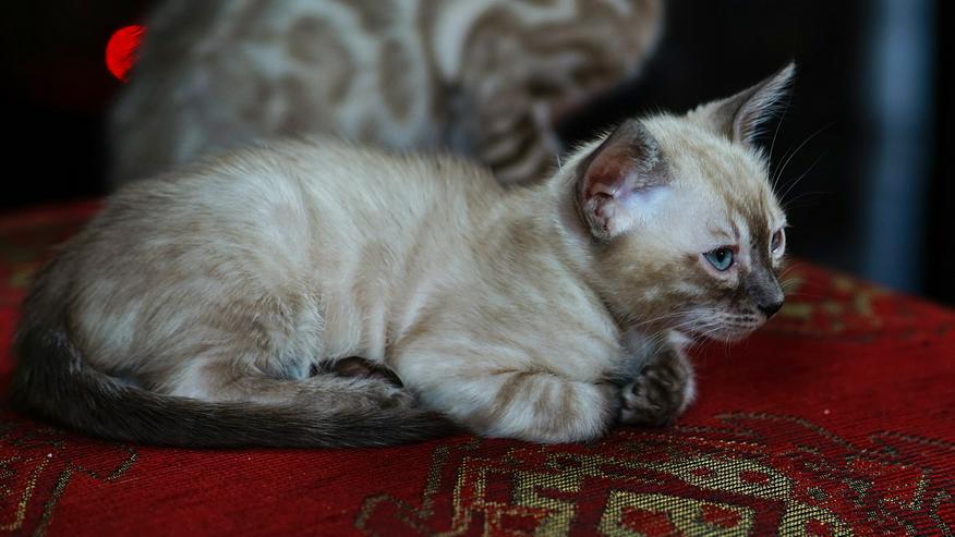 Bild 6: Wunderschöne Champion Bengalkitten Katzen suchen Ihr neues Zuhause