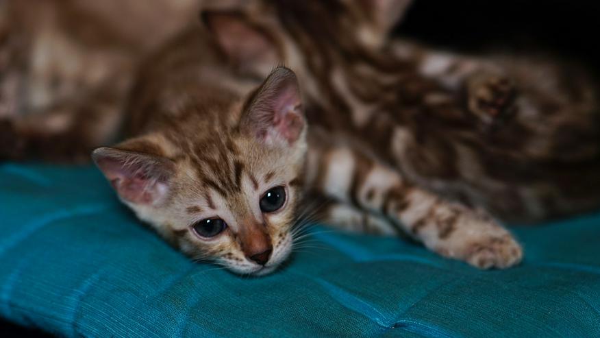 Bild 3: Wunderschöne Champion Bengalkitten Katzen suchen Ihr neues Zuhause