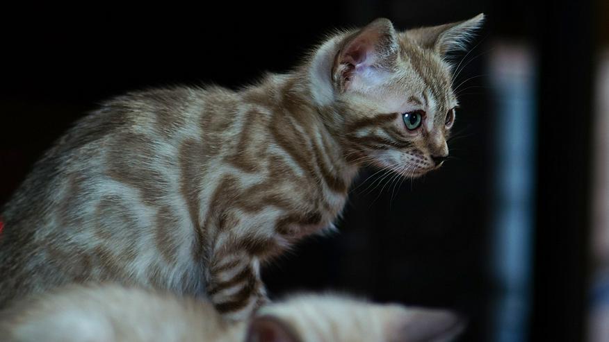 Wunderschöne Champion Bengalkitten Katzen suchen Ihr neues Zuhause - Rassekatzen - Bild 5