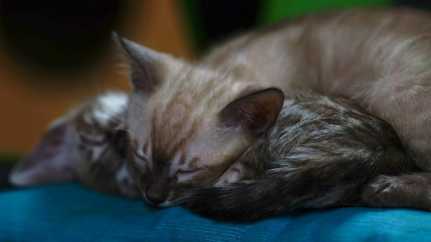 Bild 10: Wunderschöne Champion Bengalkitten Katzen suchen Ihr neues Zuhause