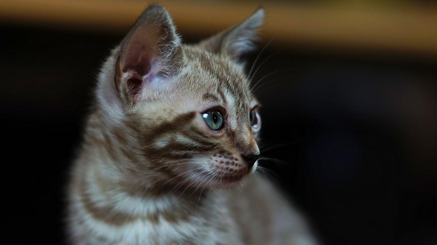 Bild 9: Wunderschöne Champion Bengalkitten Katzen suchen Ihr neues Zuhause