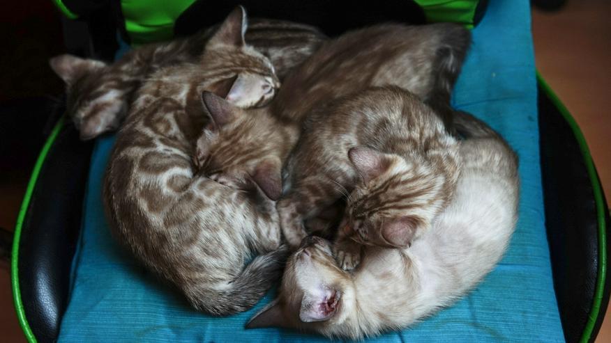 Wunderschöne Champion Bengalkitten Katzen suchen Ihr neues Zuhause
