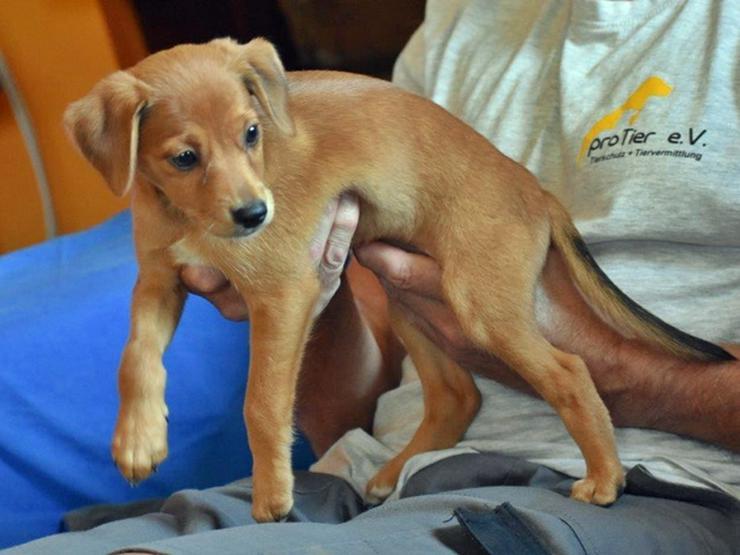 Asca sucht sein Zuhause  - Mischlingshunde - Bild 1