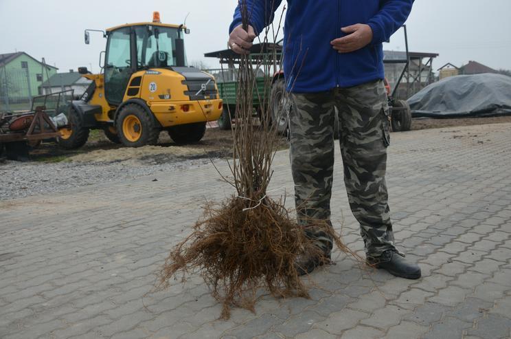Bild 3: Aronia Pflanze NERO - Polen