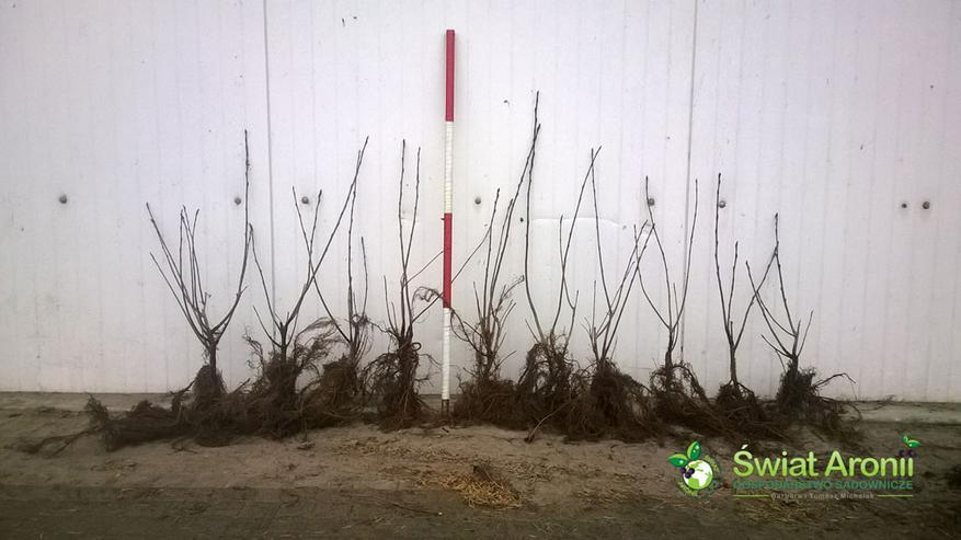 Aronia Pflanze NERO - Polen