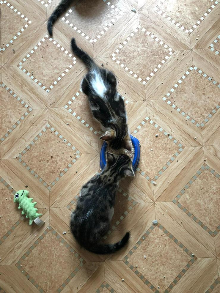 Bild 3: Bengal Mix Kitten