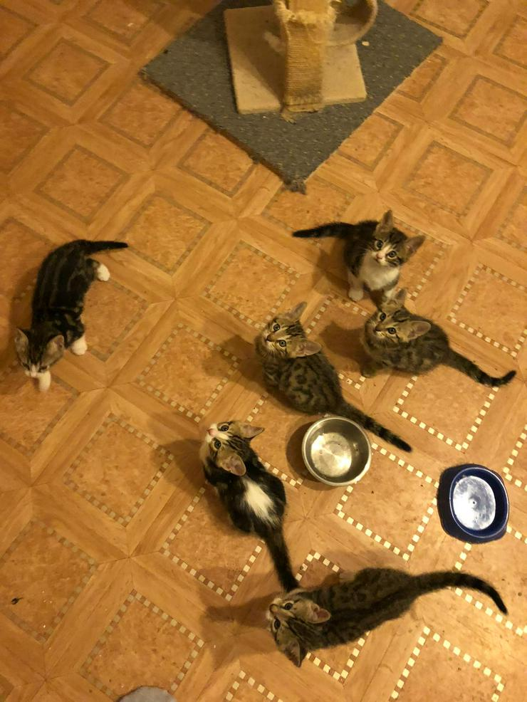 Bengal Mix Kitten - Mischlingskatzen - Bild 1
