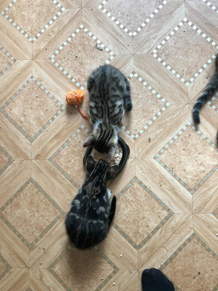Bild 4: Bengal Mix Kitten